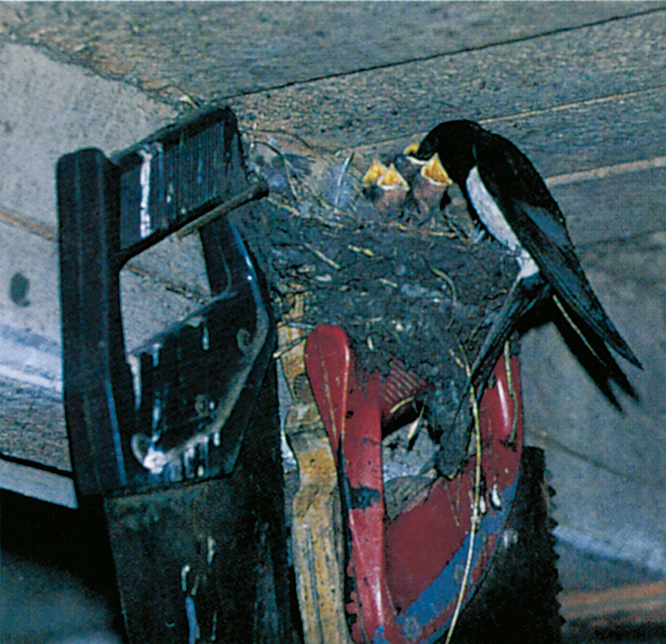 Swallow building its nest on a ceiling beam